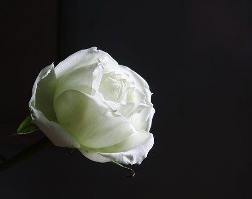 y-nghia-cua-cac-loai-hoa-dung-trong-tiet-thanh-minh 5